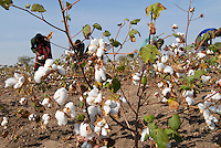 Tanzania Shinyanga, cotton farming, farmer harvest cotton