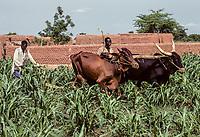Saouanaoua, Niger.  Farmers Using Cattle to Plow a Field.