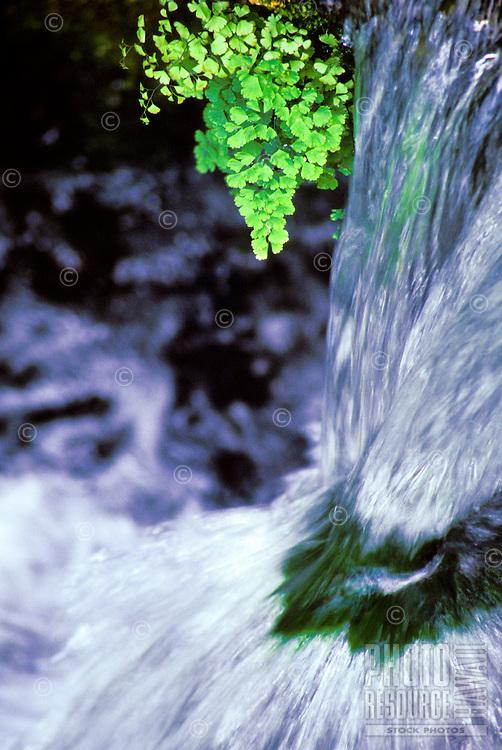 Maidenhair fern in Kauai stream.