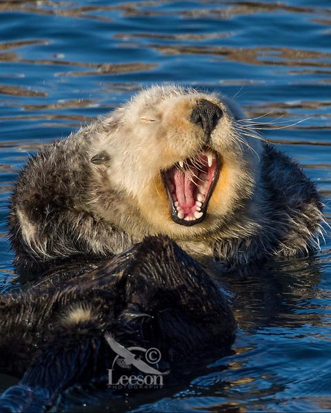 Sea Otter (Enhydra lutris) yawning. California coast.