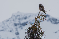 Northern Hawk Owl (Surnia ulula) in Southcentral Alaska.