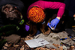 Mountain Lion (Puma concolor) biologists, Chris Fust and Justine Alyssa Smith, examining teeth to determine age of sub-adult male during collaring, Santa Cruz Puma Project, Santa Cruz, Monterey Bay, California