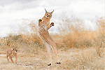 Caracal looks stunned as it holds its hand up by Ina Schieferdecker