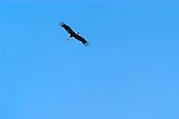 4415/Storch:EUROPA, DEUTSCHLAND, NIEDERSACHSEN, LUENEBURG 28.05.2005: Storch, Vogel, Flugbild, Thermik, Aufwind,  Luftaufnahme, Luftbild,  Luftansicht