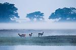 Lechwe (Kobus leche) females in floodplain at dawn, Busanga Plains, Kafue National Park, Zambia