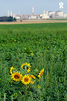 Sunflowers in field with factory in background  (Licence this image exclusively with Getty: http://www.gettyimages.com/detail/200553556-001 )