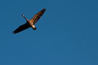 A single Canada Goose (Branta canadensis) in flight against a blue sky.