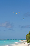 Laysan Albatross (Phoebastria immutabilis) flying over beach, Midway Atoll, Hawaiian Leeward Islands, Hawaii
