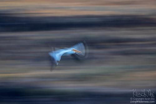White Pelican in Flight, Long Exposure, Columbia National Wildlife Refuge, Washington