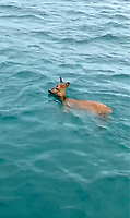 BNPS.co.uk (01202 558833)<br /> Pic: NatashaLloyd/BNPS<br /> <br /> The Deer in Weymouth Bay<br /> <br /> WITH VIDEO -https://youtu.be/MBjPMXDfysU<br />  <br /> This is the moment a fisherman and a farmer saved the life of a drowning deer after creating a makeshift lasoo to help hook it out of the water.<br /> <br /> Mark Weatherman, 56, was chartering a mackerel fishing boat in Weymouth Harbour, Dorset, when he spotted the baby female deer in distress half-a-mile from the shore.<br /> <br /> He brought his vessel alongside the exhausted animal while Morgan Lloyd, 33, made the lasoo out of a length of fishing rope as his three young children pleaded with them to 'save Bambi'.<br /> <br /> Morgan, a dairy farmer from Herefordshire, threw the loop twice towards the stricken deer but missed before getting lucky on his third attempt.