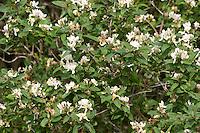 Tataren-Heckenkirsche, Tatarenheckenkirsche, Tatarische Heckenkirsche, Lonicera tatarica, Tatarian Honeysuckle, Geißblattgewächse, Caprifoliaceae