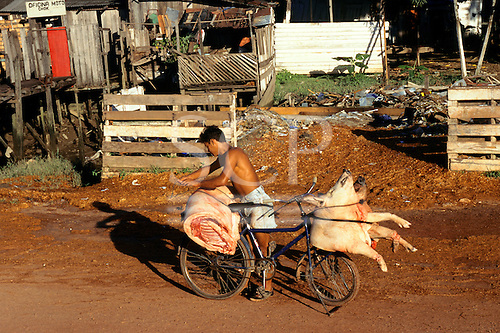 Belem, Para State, Brazil. Man transporting butchered pigs on a bicycle.