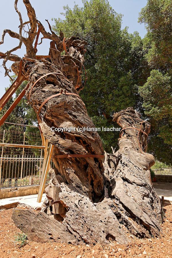 Judea, the trunk of Abraham´s Oak (Kermes Oak) at the Russian Orthodox Church in Hebron. .