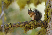 Douglas Squirrel (Tamiasciurus douglasii), Sequoia and Kings Canyon National Park, California, USA