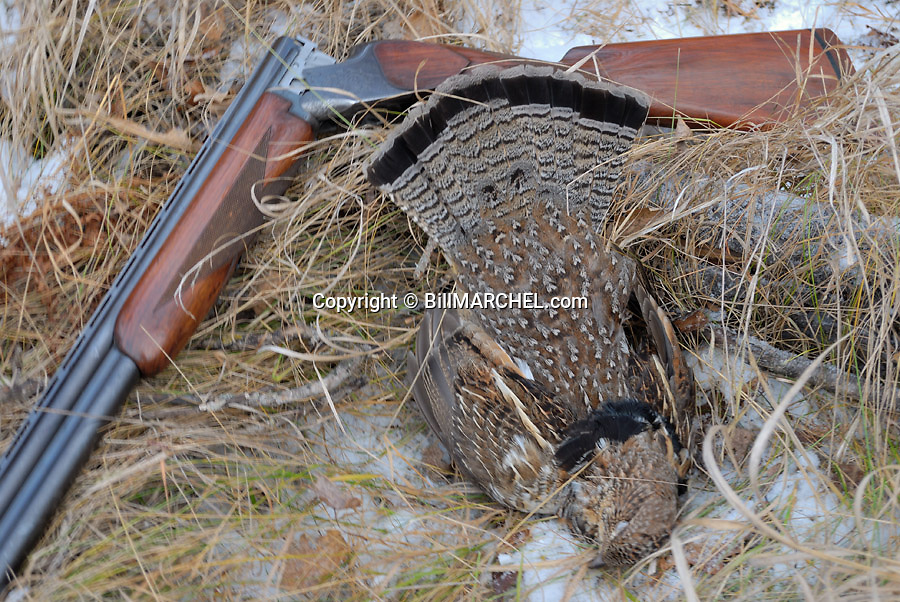 00515-076.16  Ruffed Grouse: Gray phased grouse is diplayed with double barrel shotgun during late season.  Snow, aspen, double barrel.