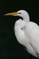 Great egret adult non-breeding in profile