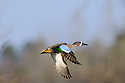 00315-062.01 Blue-winged Teal Duck drake in flight agaist sky and tree.  Hunt, action, fly, color, blue, speculum, wetlands.