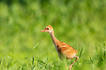 Sandhill crane chick walking in a meadow in northern Wisconsin.