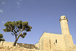 T-153 Aleppo Pine (Pinus halepensis) tree in Nabi Samuel