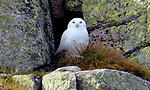 Rare sighting of Snowy owl in Scotland by Gary Hodgson