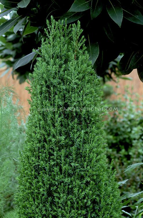 Juniperus communis 'Compressa' evergreen juniper tree with pyramidal upright shape