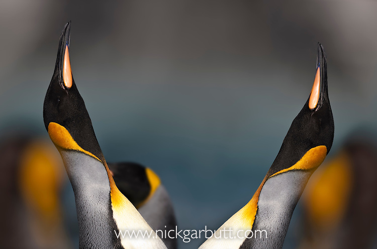 King Penguins (Aptenodytes patagonicus) displaying at breeding colony. Gold Harbour, South Georgia, South Atlantic.