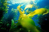 Giant kelp, Macrocystis pyrifera, forest, California, USA, East Pacific Ocean