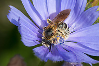 Sechsbindige Furchenbiene, Weißbindige Furchenbiene, Furchenbiene, Blütenbesuch an Wegwarte, Halictus cf. sexcinctus, six-banded furrow bee, Furchenbienen, Schmalbienen, Halictidae, sweat bee, sweat bees