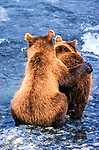 Two cubs wait for their mother to catch them a salmon dinner. Bears congregating along salmon spawning rivers increase their tolerance for each other in order to share the fish bounty, McNeil River Bear Sanctuary, Alaska.