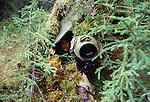 Photographer Art Wolfe  in blind near gray wolf den, Tok Junction, Alaska, USA (1985)