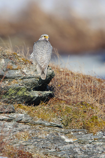 Adult male white-morph Gyrfalcon (Falco rusticolus) pershed on rocks. Seward Peninsula, Alaska. May.