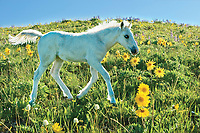 Wild Horse colt in wildflowers.
