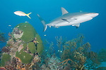 Grand Bahama Island, The Bahamas; a Caribbean Reef Shark (Carcharhinus perezi) swimming over a coral patch reef