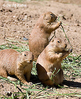 0601-1029  Group of Black-tailed Prairie Dogs Eating Prairie Grass, Cynomys ludovicianus  © David Kuhn/Dwight Kuhn Photography