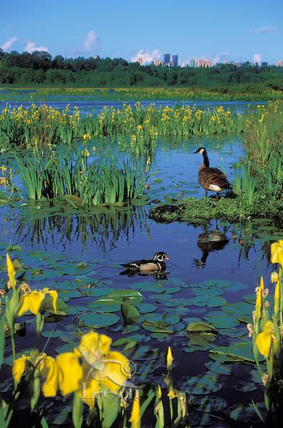 Wood Duck drake & Canada Goose surrounded by yellow irises. Spring. Burnaby Lake. Burnaby, British Columbia, Canada.