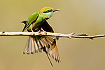 Green bee-eater (Merops orientalis) streaching wings / sunbathing. Bandhavgarh NP, India