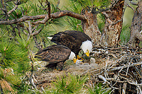 Bald Eagle Nest (Haliaeetus leucocephalus)--both adults feeding two several week old eaglets in tall ponderosa pine tree.  Oregon.  May.