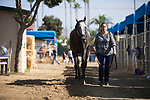 DEL MAR,CA-AUGUST 17: Arrogate prepares for TVG Pacific Classic at Del Mar Race Track on August 17,2017 in Del Mar,California (Photo by Kaz Ishida/Eclipse Sportswire/Getty Images)