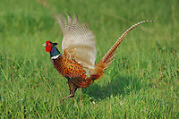 Ring-necked Pheasant (Phasianus colchicus),male displaying, National Park Lake Neusiedl, Burgenland, Austria