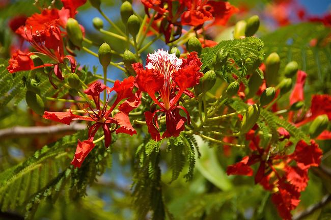 Flame Tree (Flamboyant) Blossom