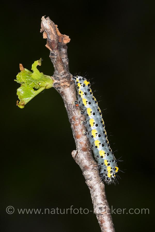 Blaukopf, Brillenvogel, Raupe, Diloba caeruleocephala, figure of eight, caterpillar, Le Double oméga, le Diloba à tête bleue, Eulenfalter, Noctuidae, noctuid moths, noctuid moth