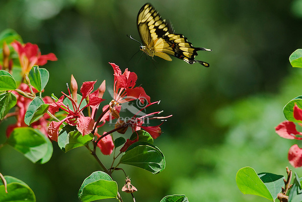 Giant Swallowtail Butterfly (Papilio cresphontes)..(San Diego Wild Animal Park, San Diego, CA)