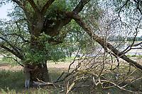 Weide am Ufer der Elbe, alte, mächtige Weide, Elbtalaue, Salix spec., Weiden, mit Mensch, Frau als Größenvergleich