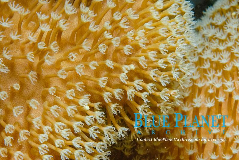 Coral polyp details, Sarcophytn sp.. Mabul Island, Malaysia. Celebes Sea.