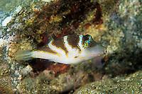 black saddled toby or Valentinni's sharpnose puffer, Canthigaster valentini, Futo, Sagami bay, Izu peninsula, Shizuoka, Japan, Pacific Ocean