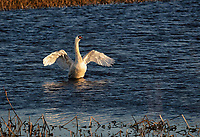 Mute Swan flapping wings in water with wings outstretched