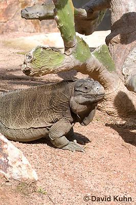 0628-1107  Anegada Ground Iguana (Stout Iguana), Cyclura pinguis  © David Kuhn/Dwight Kuhn Photography