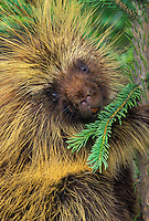 PORCUPINE in spruce tree..Autumn. Rocky Mountains..(Erethizon dorsatum).