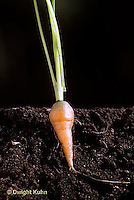 HS12-001b  Carrot - tap root of carrot.