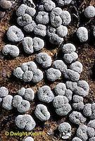 SD03-018x  Slime Mold - fruiting bodies - Badhamia macrocarpa - 5x